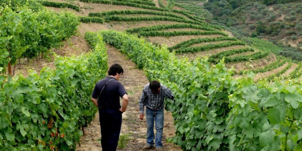 douro grapes winerist.com
