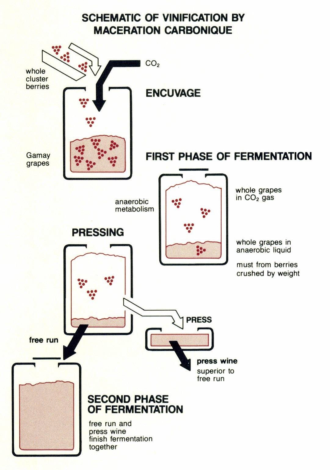 Carbonic maceration process