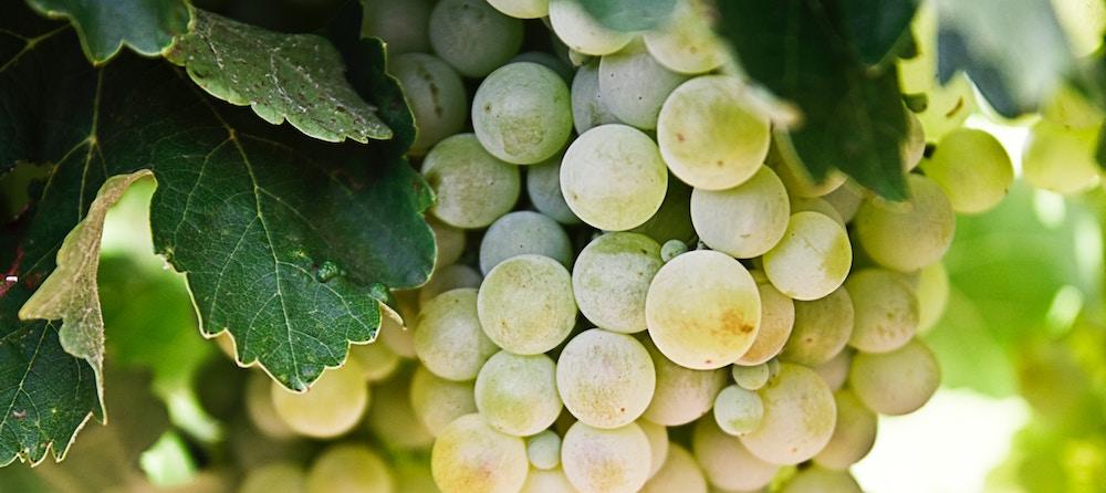 douro white grapes winerist.com
