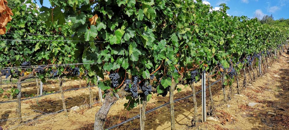 winerist sassicaia vineyards